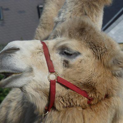 Kamele - Ergänzungsfutter